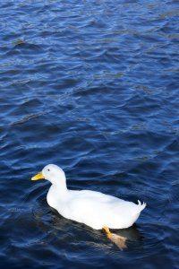 Duck: Digital Photograph; Limited Edition A4 Digital Print (1/15); £25.00 Unframed/ £40.00 Framed. Framed size: 43cm x 33cm.