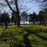 Daffodils 1: Digital Photograph; Limited Edition A4 Digital Print (1/15); £25.00 Unframed/ £40.00 Framed. Framed size: 43cm x 33cm.