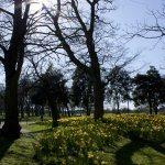 Daffodils 2: Digital Photograph; Limited Edition A4 Digital Print (1/15); £25.00 Unframed/ £40.00 Framed. Framed size: 43cm x 33cm.